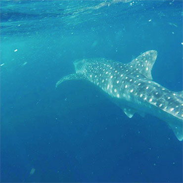 whale sharks arrive at cancun in mid june until september